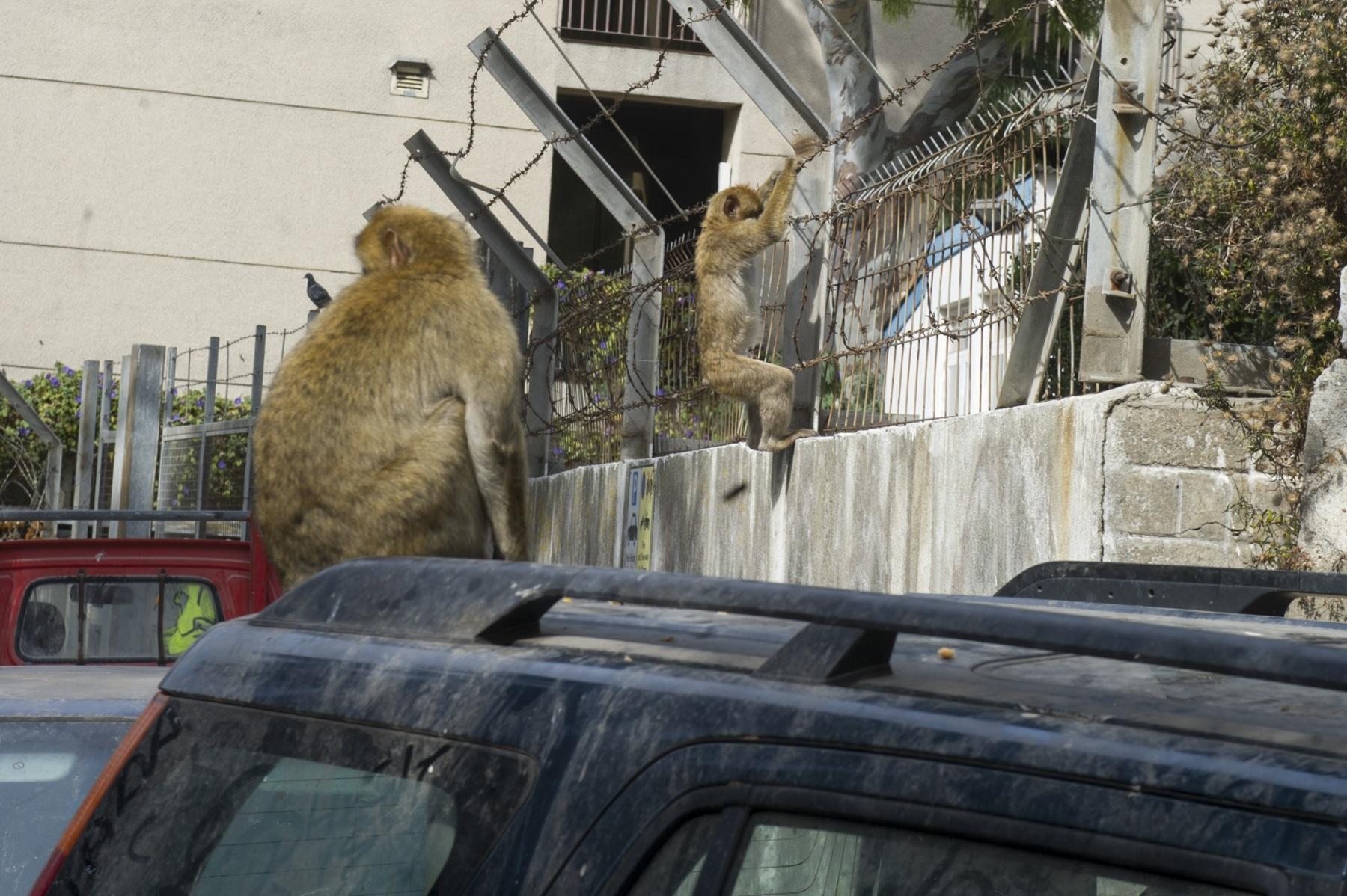 Monos-en-la-ciudad-5