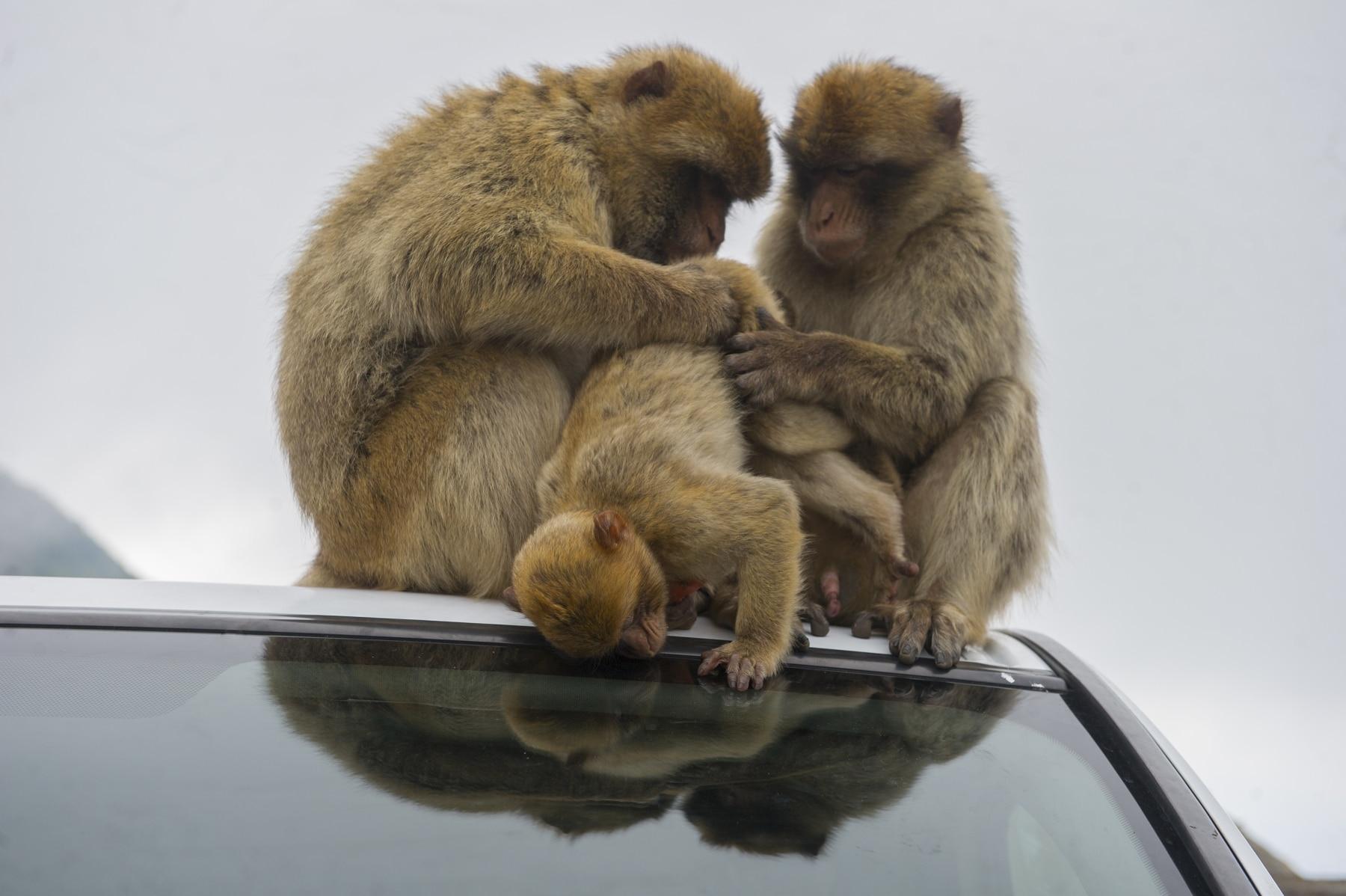 monos-zona-alta-del-pen-con-turistas-13_9222296481_o