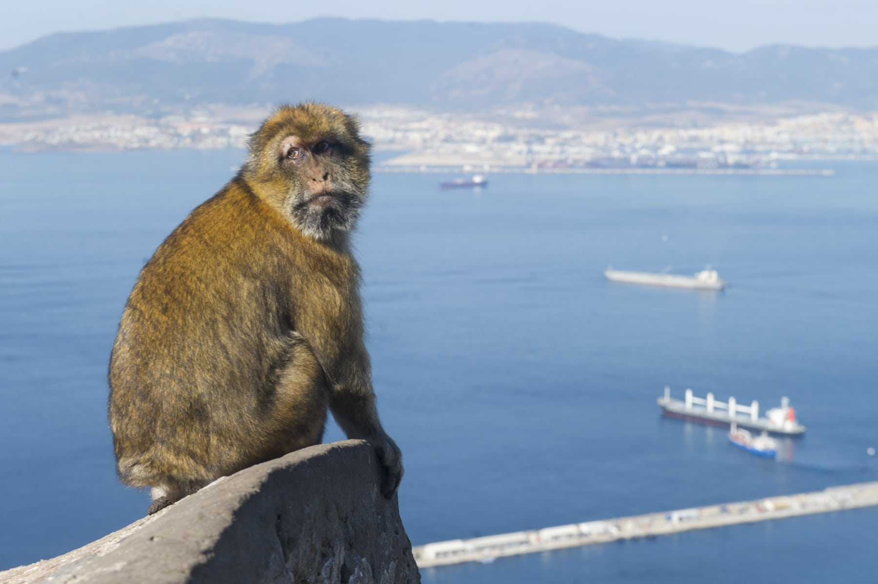 los-macacos-de-berbera-smbolo-inequvoco-de-gibraltar_22118329403_o